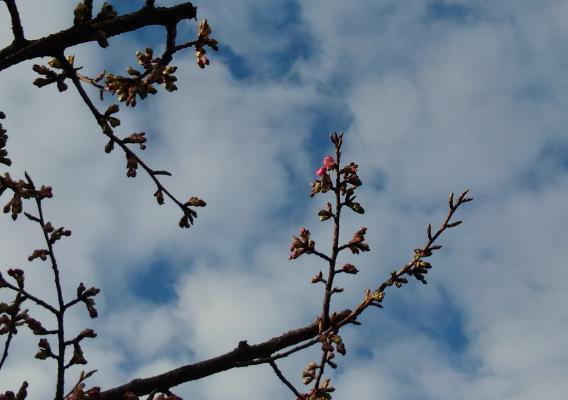 さくら公園河津桜