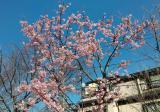 さくら公園冬桜