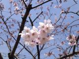 さくら公園ソメイヨシノ